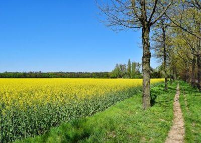 Schleswig-Holsteinische Landschaftiner Feldweg, der an einem Rapsfeld vorbei führt